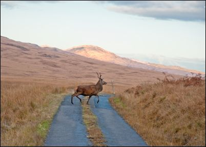 Deer on Isle of Jura, Scotland